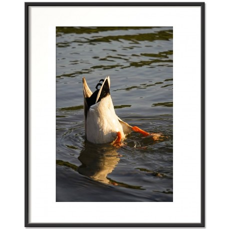 diving duck - trzaw