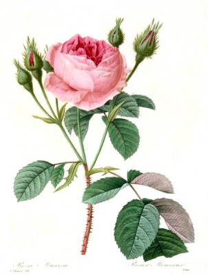 Rosa Muscosa - Pierre-Joseph Redouté