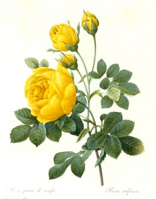 Rosa sulfurea II - Pierre-Joseph Redouté