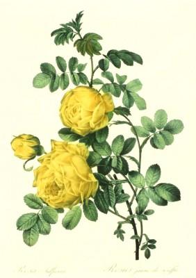 Rosa Sulfurea III - Pierre-Joseph Redouté
