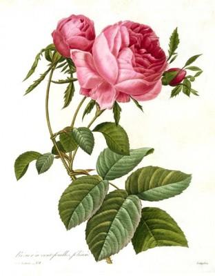 Rose - Pierre-Joseph Redouté