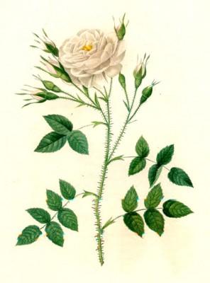 Rosenberg's rose - Pierre-Joseph Redouté