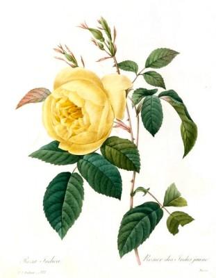 Rosier des Indes jaune - Pierre-Joseph Redouté