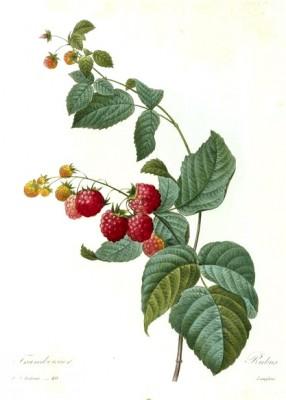 Rubus - Pierre-Joseph Redouté