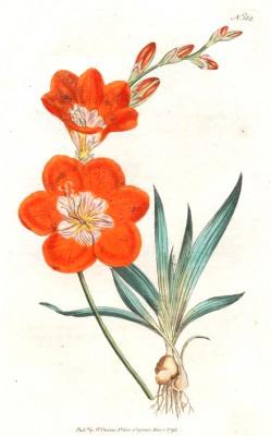Saffron-coloured ixia - Pierre-Joseph Redouté