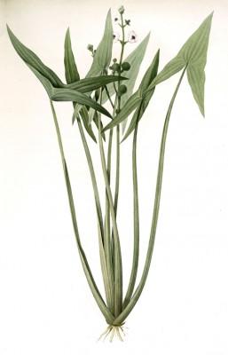 Sagittaria sagittifolia - Pierre-Joseph Redouté