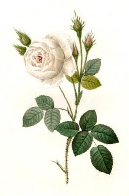 Shailer's white moss rose - Pierre-Joseph Redouté