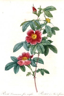 Single May rose - Pierre-Joseph Redouté