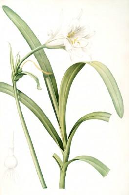 Sisyrinchium palmifolium - Pierre-Joseph Redouté