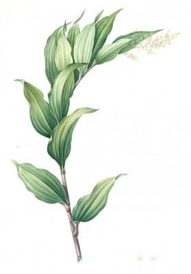 Smilacina racemosa - Pierre-Joseph Redouté