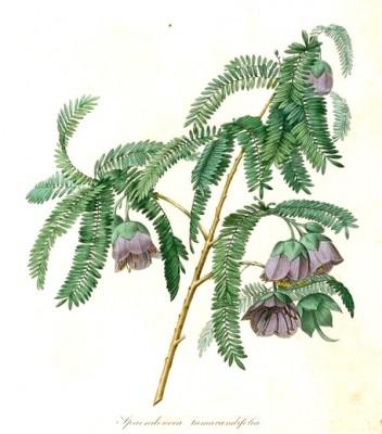 Spaendoncea tamarandifoli - Pierre-Joseph Redouté