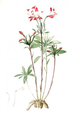 St Martin's Flower - Pierre-Joseph Redouté