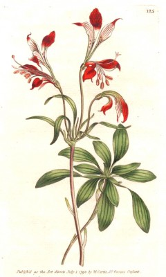 Striped-flowered alstroemeria - Pierre-Joseph Redouté