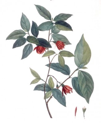 Sweetshrub - Pierre-Joseph Redouté