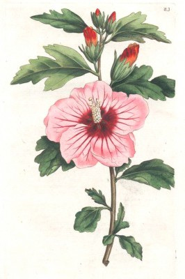 Syrian hibiscus - Pierre-Joseph Redouté