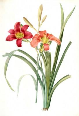 Tawny Day Lily - Pierre-Joseph Redouté