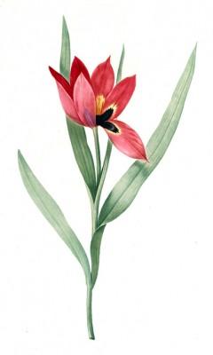 Tulipa oculus-Colis - Pierre-Joseph Redouté