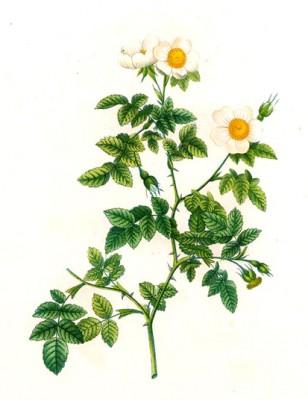 Vaillant's sweetbriar rose - Pierre-Joseph Redouté