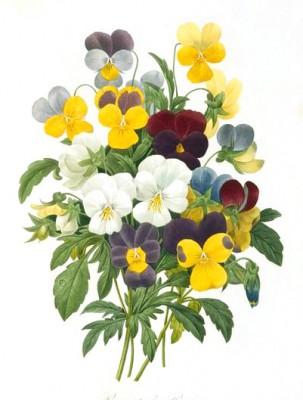 Viola tricolor - Pierre-Joseph Redouté