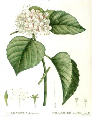 Volkameria fragrans - Pierre-Joseph Redouté