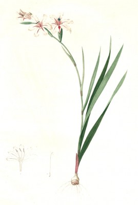 Waved-flowered Gladiolus - Pierre-Joseph Redouté