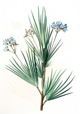Witsenia corymbosa - Pierre-Joseph Redouté