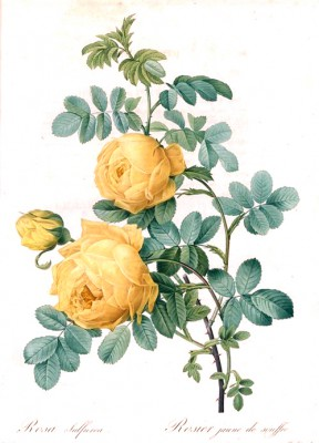 Yellow sulfur rose - Pierre-Joseph Redouté