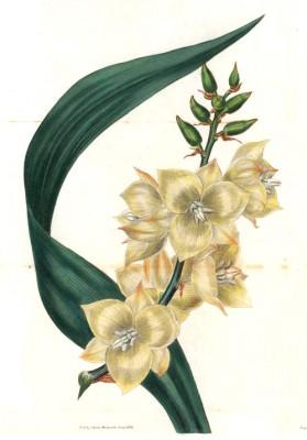 Yucca glauca - Pierre-Joseph Redouté