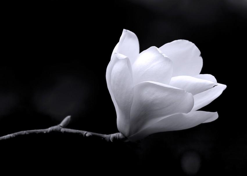 Obraz na płótnie 'MAGNOLIA FLOWER'