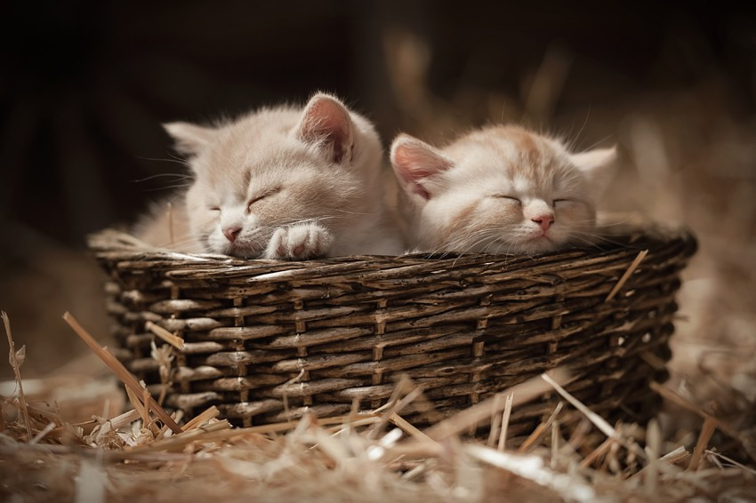Plakat 'KITTENS IN A BASKET'